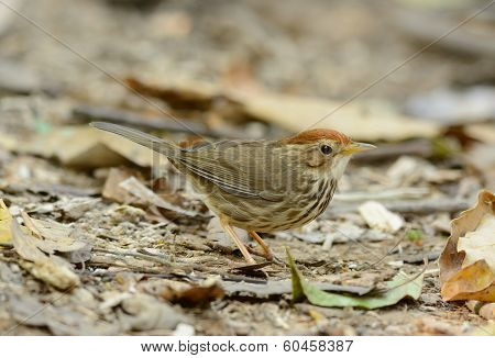 Puff-throated Babbler (pellorneum Ruficef)