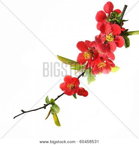 Japanese quince blossom on white.