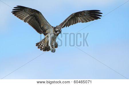 Osprey soaring in the sky