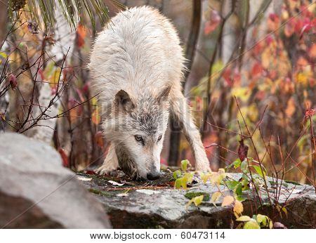Blonde Wolf (Canis lupus) Sniffs Atop Rock