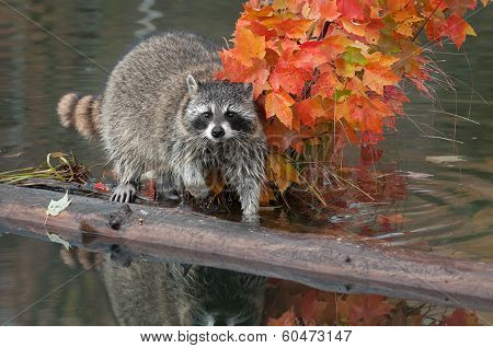 Raccoon (Procyon lotor) Stares At Viewer