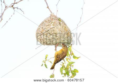 Male Southern Masked Weaver