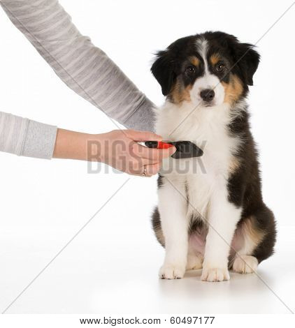 dog grooming - australian shepherd sitting being brushed isolated on white background