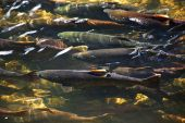 Multi-colored Salmon Spawning Up River Issaquah Creek Wahington