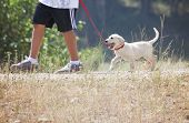 pic of pooch  - a young boy taking a small labrador retriever puppy for a walk on a red leash - JPG
