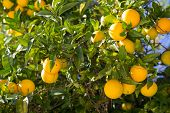 stock photo of tangerine-tree  - Orange tree with ripe fruits in sunlight. Horizontal shot