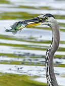 stock photo of bluegill  - Bluegill gets Caught by a Great Blue Heron - JPG