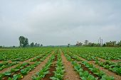 pic of tobaco leaf  - green tobacco field in thailand in cloudy day - JPG
