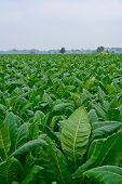 stock photo of tobaco leaf  - green tobacco field in thailand in cloudy day - JPG