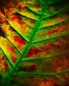 stock photo of oxidation  - Oxidation of leaves is a beautiful thing - JPG