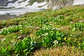 Alpine Flowers On A Glacier, Colorado In Summer
