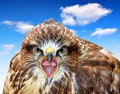 picture of buzzard  - Common Buzzard Buteo buteo - JPG
