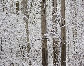 Winter Poplar