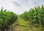 stock photo of corn-silk  - Corn Field Or Maize Field In Thailand - JPG