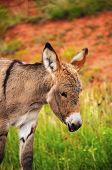 stock photo of burro  - A wild baby burro at Custer State Park South Dakota - JPG
