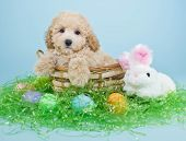 picture of poodle  - A cute little Poodle puppy sitting in a basket with an Easter bunny and Easter eggs around him - JPG