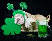 stock photo of leprechaun hat  - A funny Bulldog puppy that looks like he as had one to many green beer on St - JPG