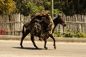 picture of mule  - mule at the streets of Fez Medina Morocco - JPG