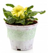 image of primrose  - Yellow primrose in pot isolated on white - JPG