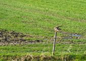 pic of buzzard  - Buzzard on a pole in sunlight in winter - JPG