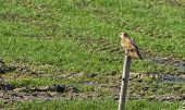 stock photo of buzzard  - Buzzard on a pole in sunlight in winter - JPG