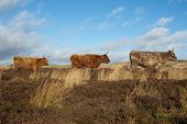 stock photo of highland-cattle  - Three Highland Cattle stood in a line - JPG