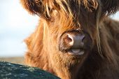 foto of highland-cattle  - Close up of a Highland Cow with tongue sticking out - JPG