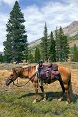 stock photo of saddle-horse  - Red Dun mountain horse under saddle saddle bags rain slicker Summer Emigrant Wilderness Stanislaus National Forest California - JPG