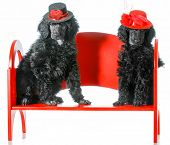 dog couple - two standard poodle puppies sitting on a red bench