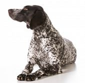 german shorthaired pointer female laying down isolated on white background