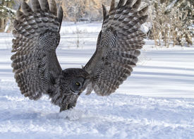 pic of snow owl  - Close up image of a great gray owl in flight - JPG