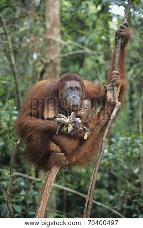 Orangutan embracing young in tree