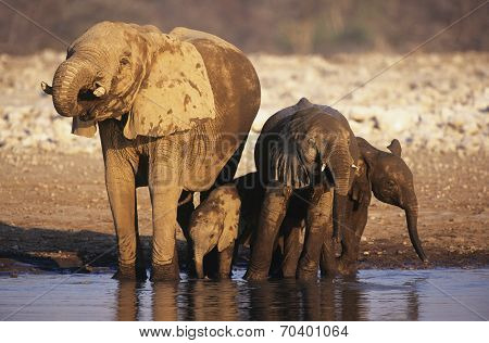 African Elephant (Loxodonta Africana) with three young at waterhole