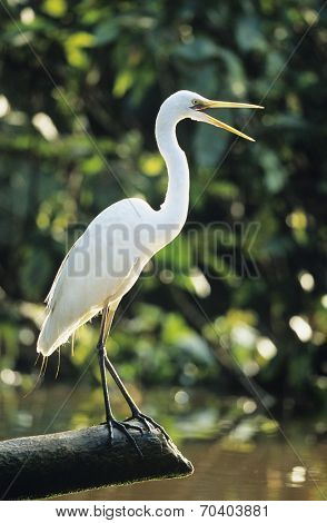 White Heron perched on log