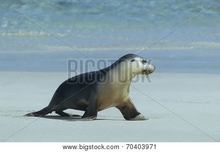 Fur seal walking on beach