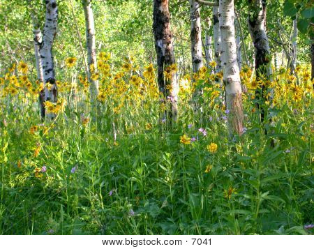 Wyoming Woods In Summer