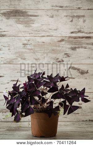 Window plants oxalis is in flowerpot