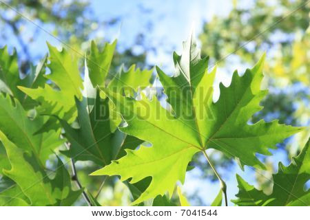 Green Platan Leaves