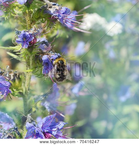 Bumblebee sitting on a flower of the blue flower.