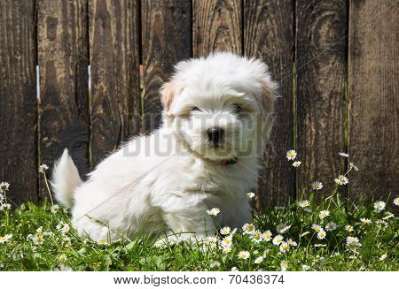Dog Portrait: Cute Baby Dog - Puppy Coton De Tulear.