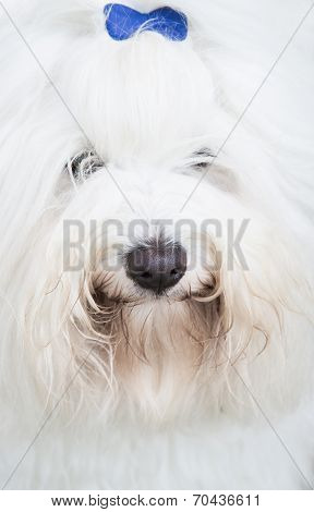 Head Of An Original Coton De Tuléar Dog - Pure White Like Cotton.