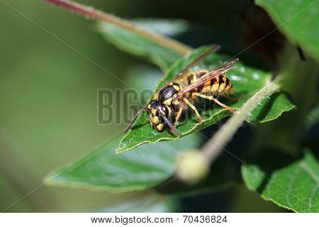 Saxon Wasp