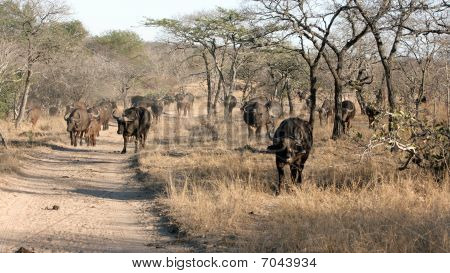 Herd Of African Buffalo, Kruger National Park