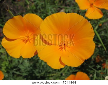 Eschscholzia californica or California poppy, family Papaveraceae