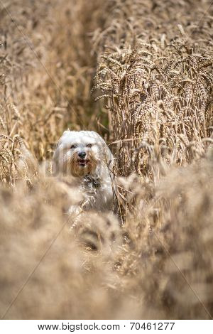 Joy In The Cornfield