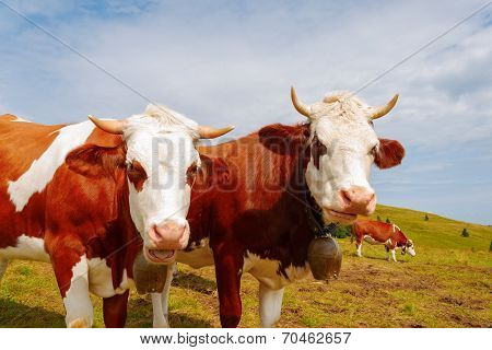 Two Brown Mountain Cows With Bells And Horns