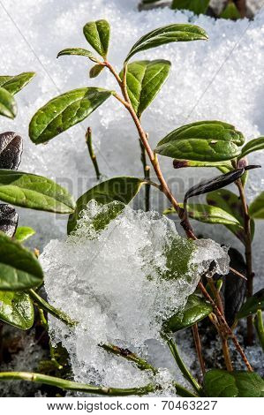 Small Green Bush Sprouting Out Through The Snow In Spring.