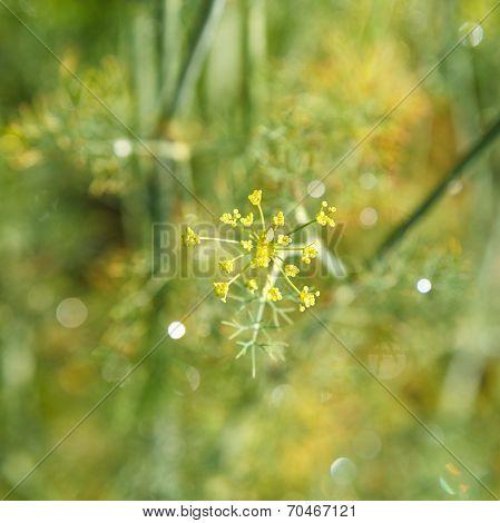 Flowers Of Dill Herbs In Garden