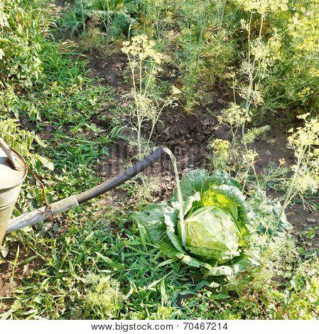Watering Kale From Handshower In Garden