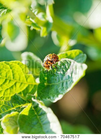 Ten-lined Potato Beetle Eating Potatoes